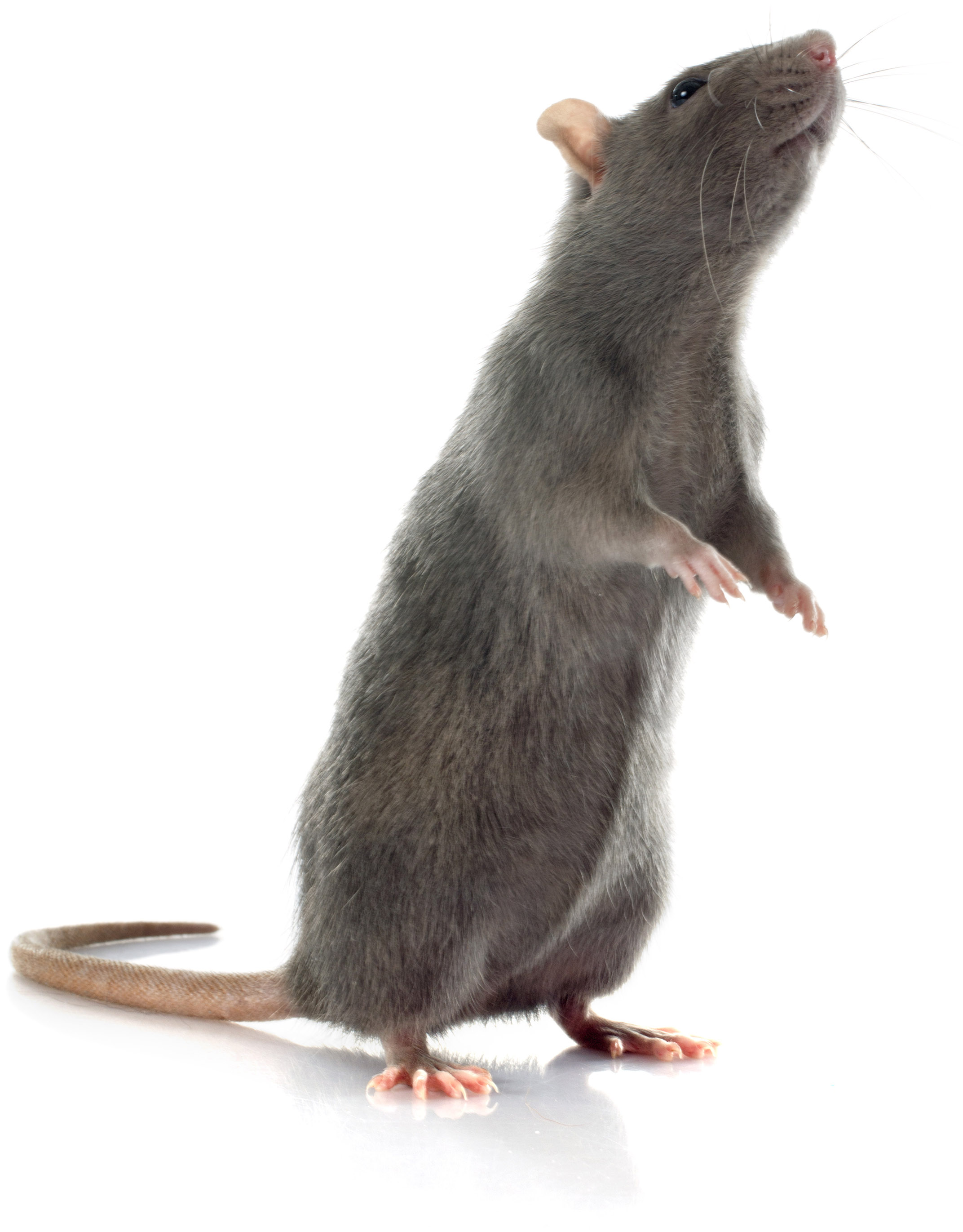 Rattenbekämpfung in München