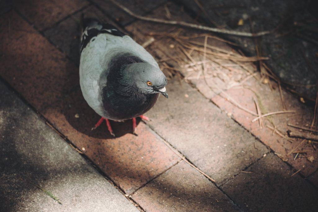 Tauben vertreiben München