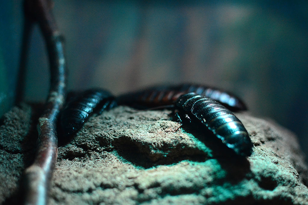 Kakerlaken bekämpfen und Schaben vertreiben