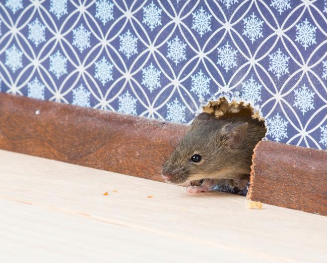 Ratten im Haus in München
