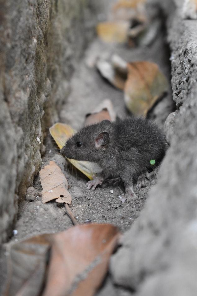 Rattenbekämpfung München